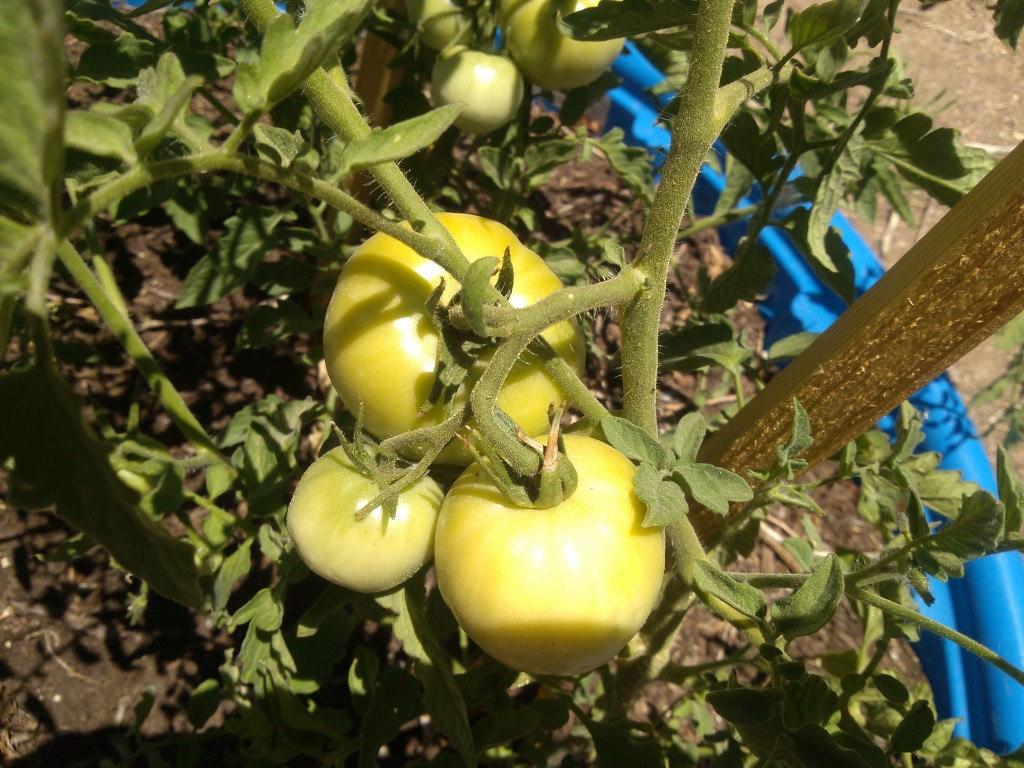 Hot Peppers from the Kiddie Garden: From Garden to Stovetop!